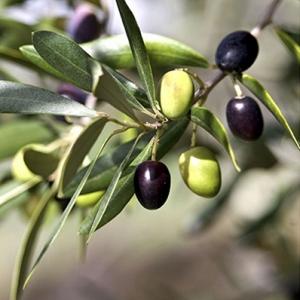 Linea oliviva 400x400